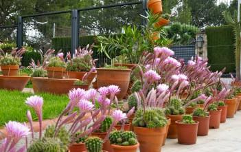 Echinopsis oxygona - Easter Lily Cactus