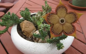 Edithcolea grandis - Persian Carpet Flower