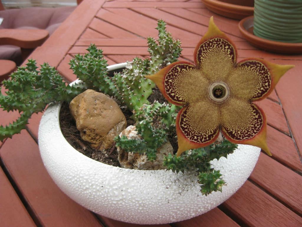 Semis d'Edithcolea Edithcolea-grandis-Persian-Carpet-Flower