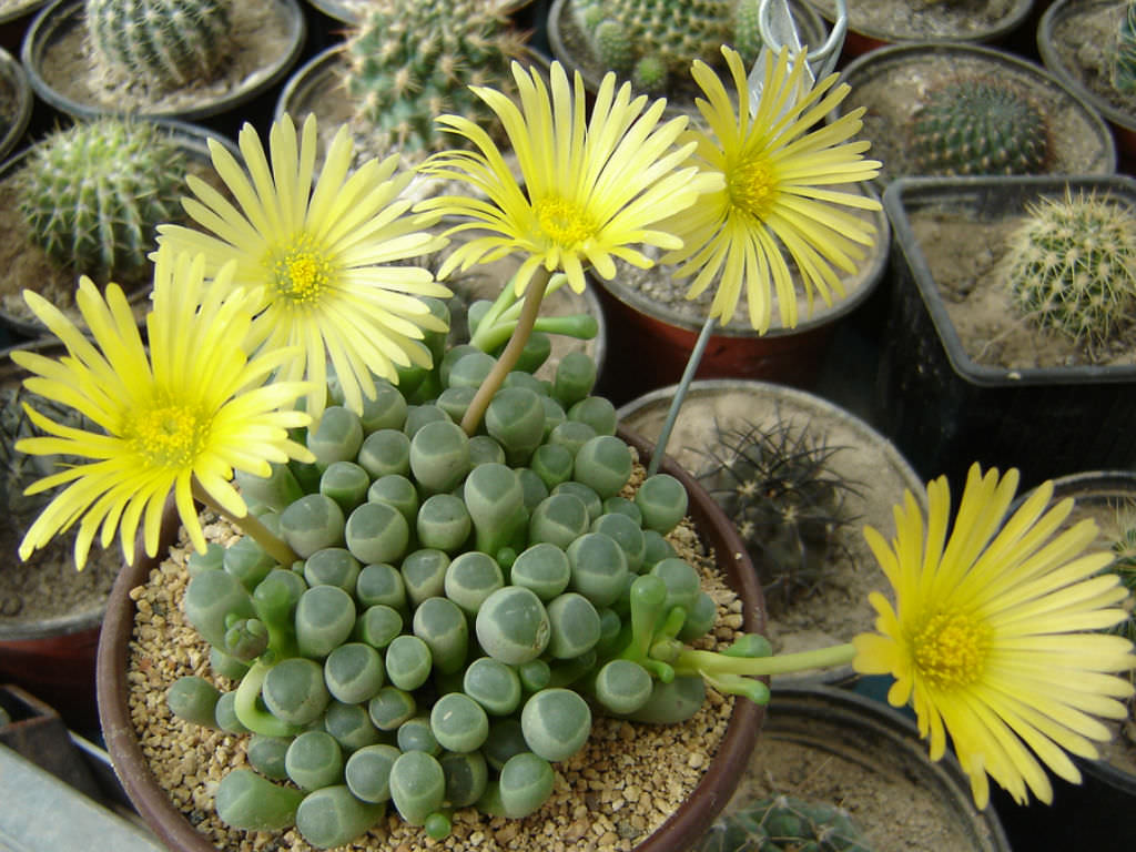 How To Grow And Care For Fenestraria World Of Succulents