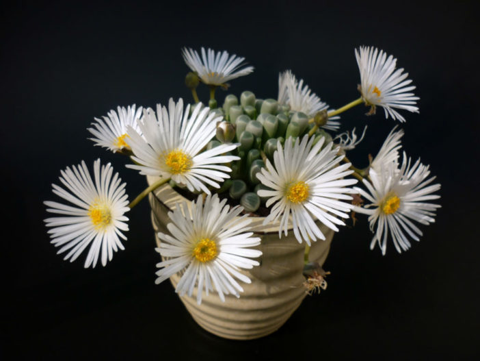 Fenestraria - Miniature Gardens