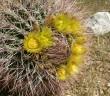 Ferocactus cylindraceus - California Barrel Cactus