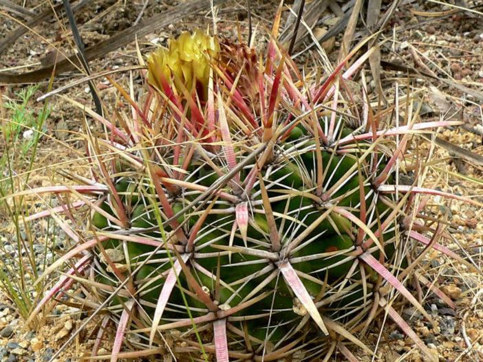 Ferocactus viridescens - Coast Barrel Cactus San Diego Barrel Cactus