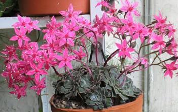 Graptopetalum bellum - Chihuahua Flower