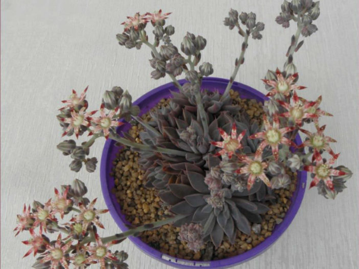 Grow and Care Graptopetalum (Graptopetalum rusbyi)