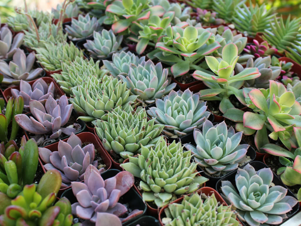 how to grow healthy succulent plants world of succulents. Black Bedroom Furniture Sets. Home Design Ideas