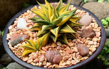 Haworthia limifolia f. variegata (Fairy Washboard)