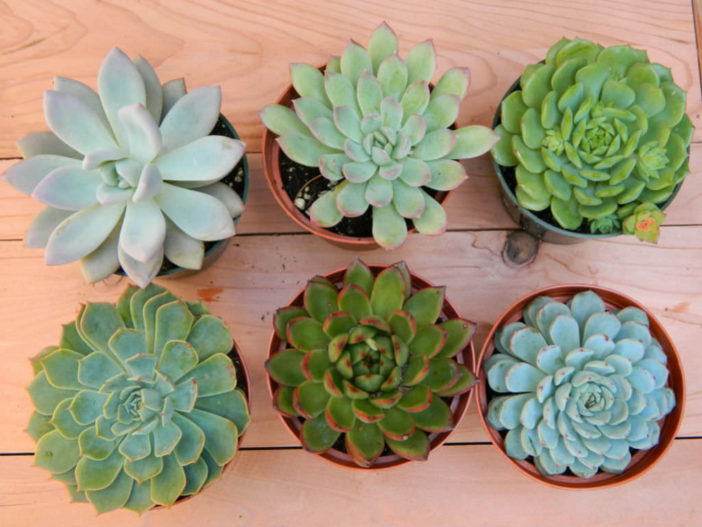 Healthy Succulents