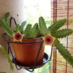 Huernia zebrina subsp. insigniflora (Lifesaver Cactus)