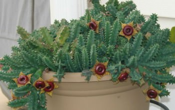 Huernia zebrina (Little Owl Eyes)