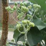 Kalanchoe beharensis (Felt Bush)
