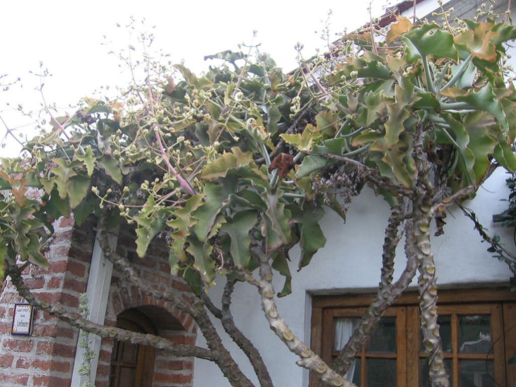 Kalanchoe beharensis  Velvet Elephant Ear Velvet Leaf Felt Plant