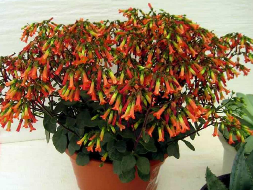 Kalanchoe Manginii Chandelier Plant World Of Succulents