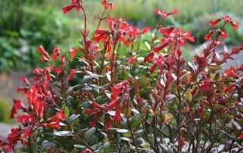 Kalanchoe manginii (Chandelier Plant) aka Bryophyllum manginii