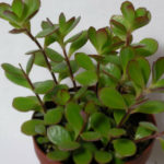 Kalanchoe manginii - Chandelier Plant