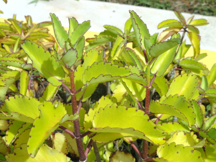 Kalanchoe pinnata – Miracle Leaf Cathedral Bells