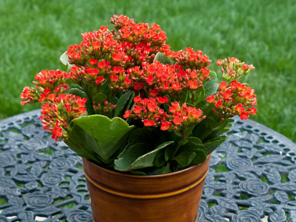 How to grow and care for kalanchoe world of succulents for Easy to care for outdoor flowering plants
