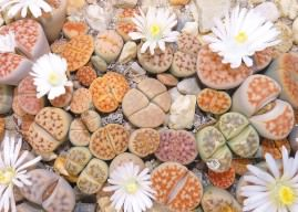 How to Grow and Care for Lithops