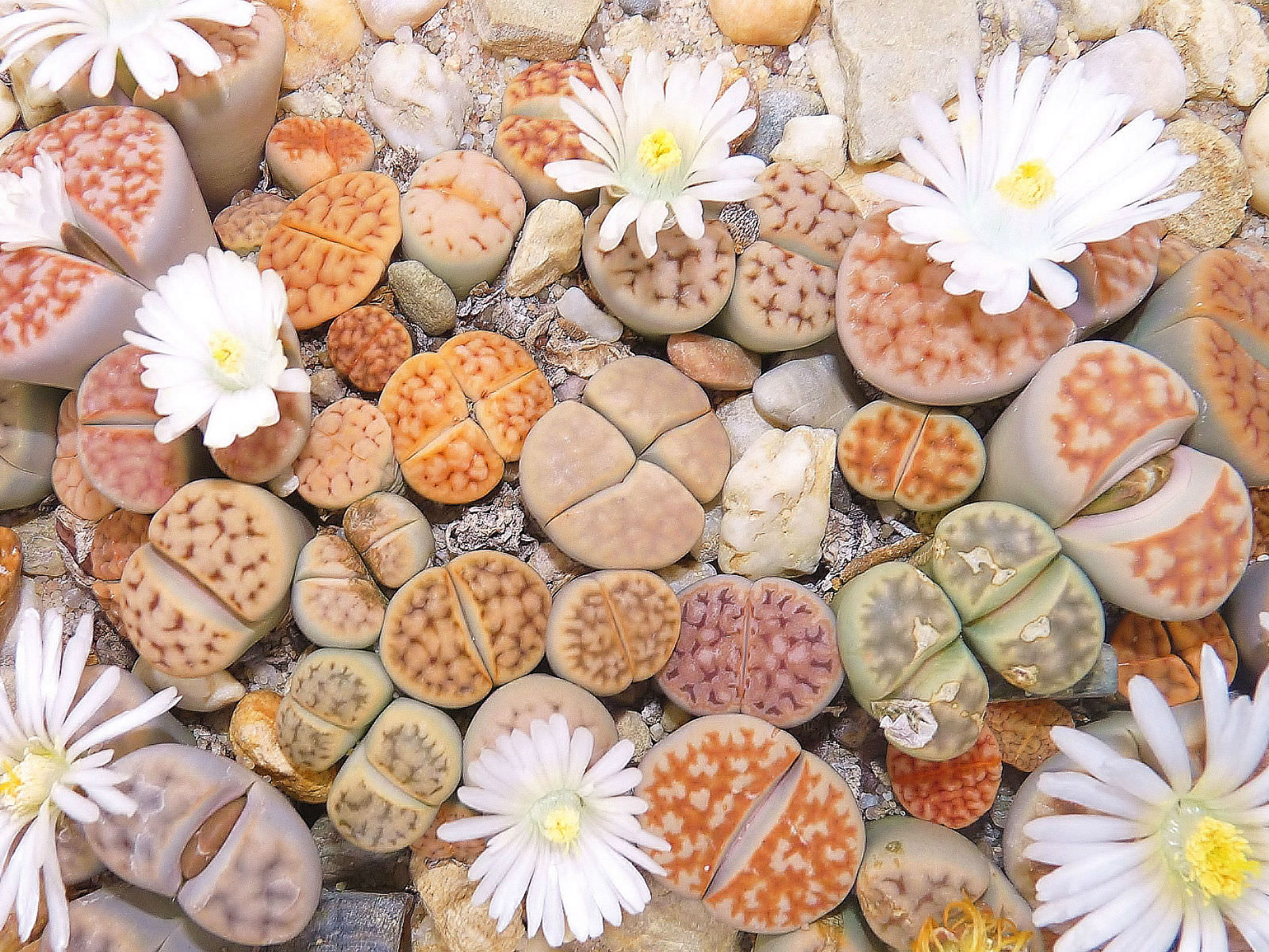 Mixed Patterns How To Grow And Care For Lithops World Of Succulents