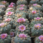 Lophophora fricii - False Peyote