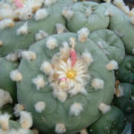 Lophophora diffusa - False Peyote
