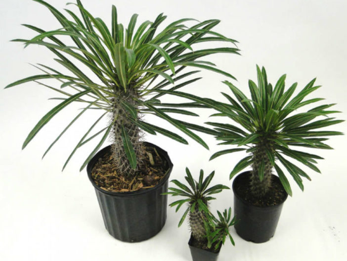 Grow and Care Pachypodium