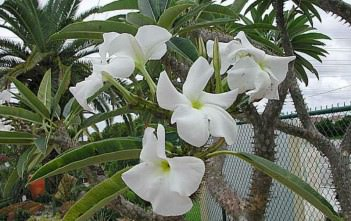 Pachypodium rutenbergianum - Madagascar Palm