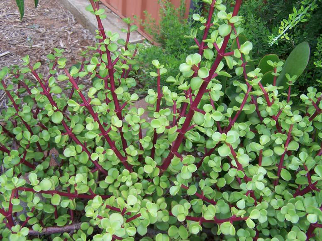 how to grow your bush foods