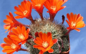 Rebutia cactus