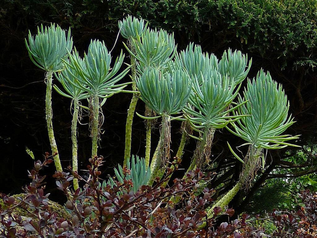senecio cylindricus narrowleaf chalk sticks world of