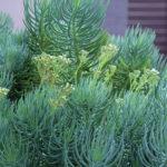 Senecio cylindricus (Narrow-leaf Chalk Sticks)