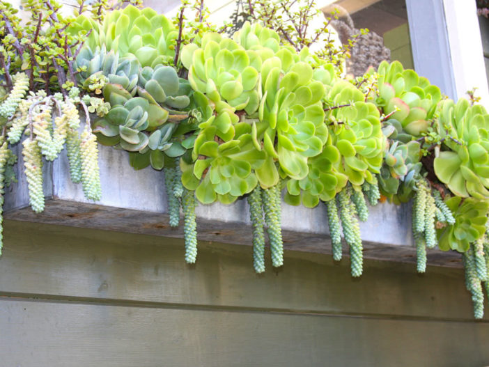 Succulent Gardening in Window Boxes