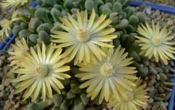 Titanopsis primosii