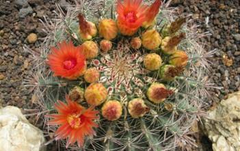Ferocactus wislizeni - Arizona Barrel Cactus Fishhook Barrel Cactus