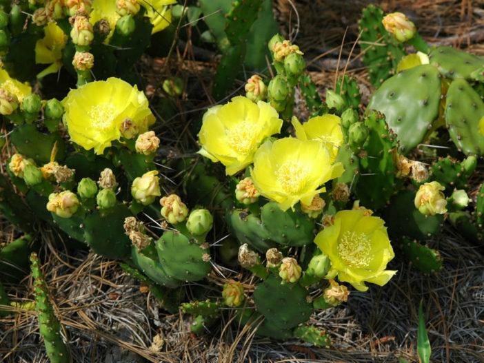 Regrow Cactus
