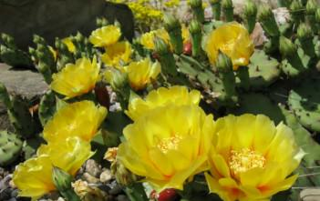 Opuntia humifusa - Devil's Tongue Eastern Prickly Pear