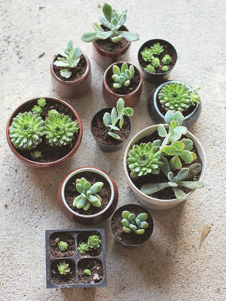 how to repot succulents world of succulents