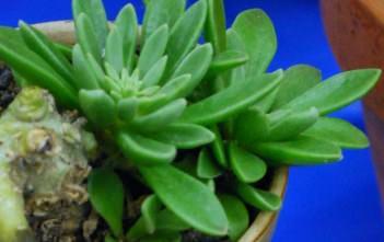 Adromischus phillipsiae
