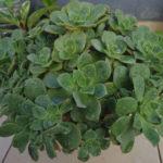 Aeonium haworthii (Pinwheel)
