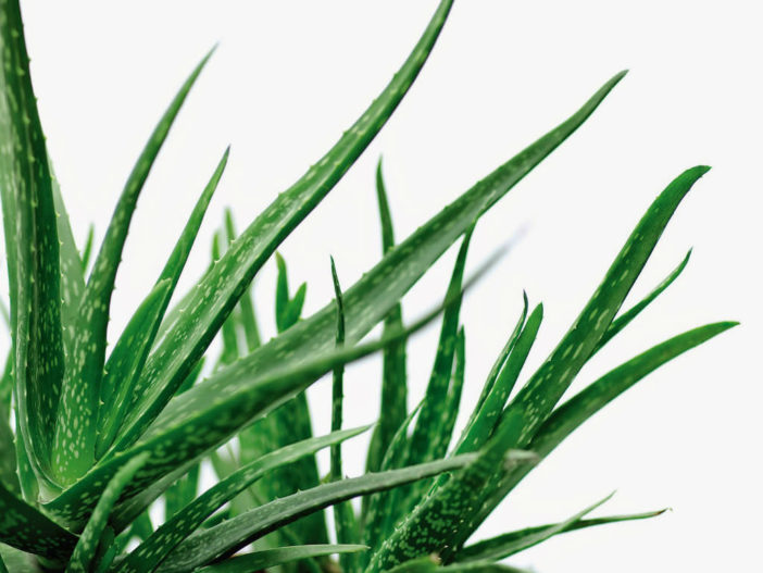 Aloe Vera - The Ancient Succulent with Healing Powers