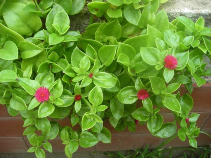 Grow and Care Aptenia
