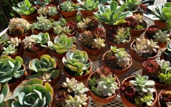 Arranging a Pot of Succulents