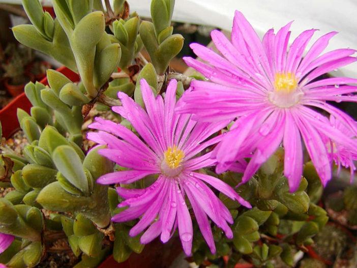 Braunsia apiculata