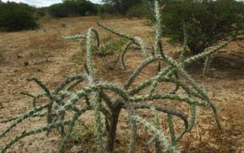 Cereus albicaulis