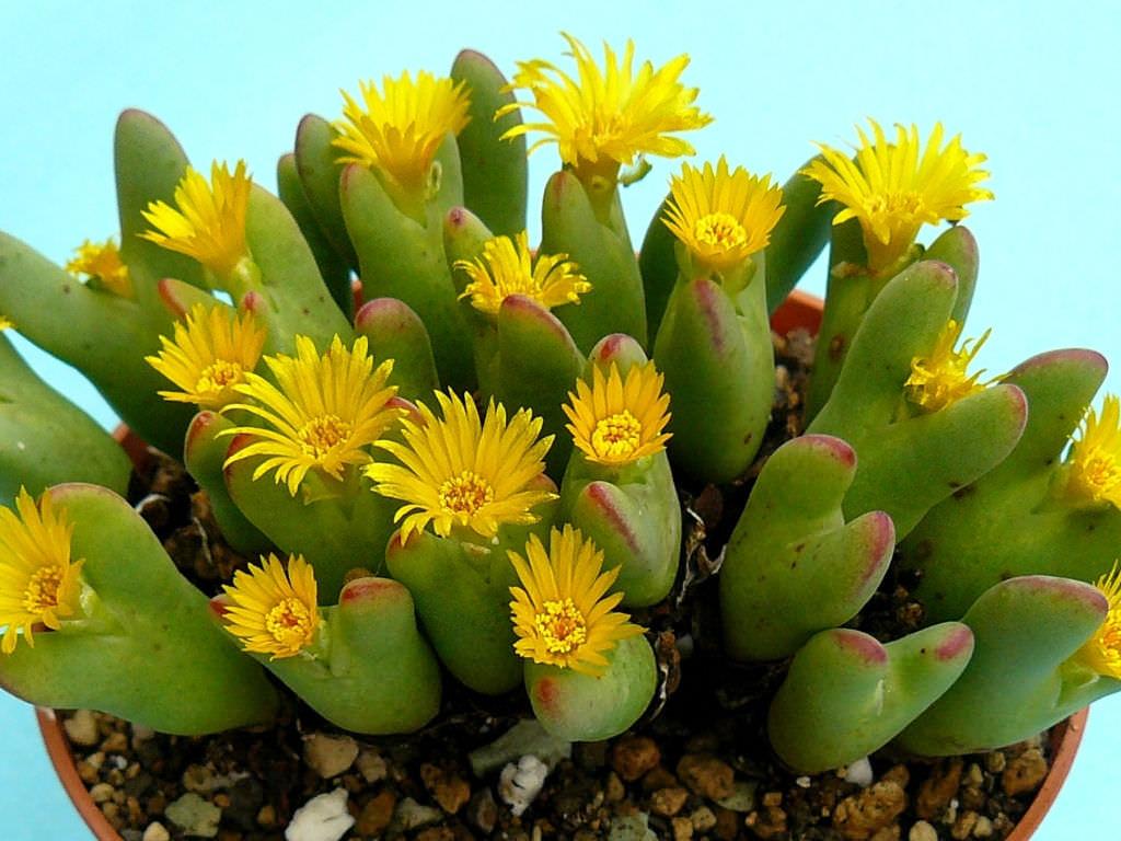 Grow and Care Conophytum (Conophytum bilobum)