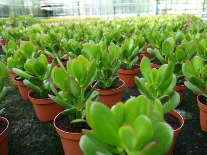 Problems Growing Crassula Ovata