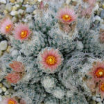 Escobaria sneedii - Sneed's Pincushion Carpet Foxtail Cactus