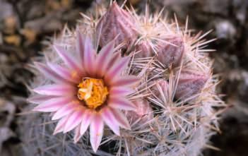 Escobaria sneedii - Sneed's Pincushion Carpet Foxtail Cactus