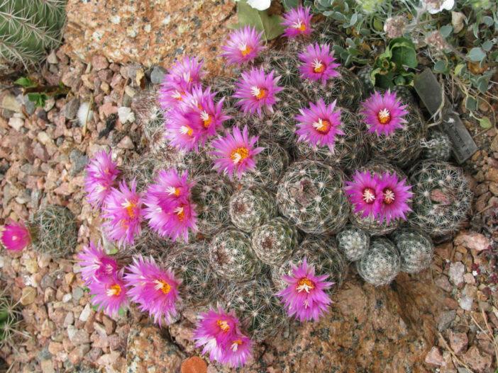 Escobaria vivipara - Beehive Cactus Viviparous Foxtail Cactus