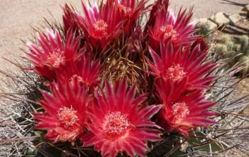Ferocactus emoryi - Emory's Barrel Cactus